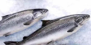 Australian farmed salmon