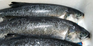 Norweigan farmed salmon